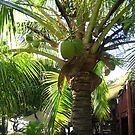 Tree of green coconuts in Fiji by Camelot