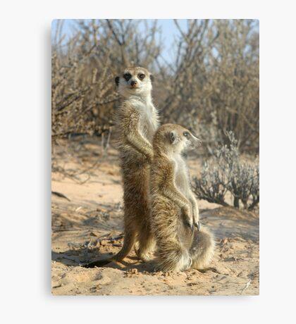 Kalahari meerkats Metal Print