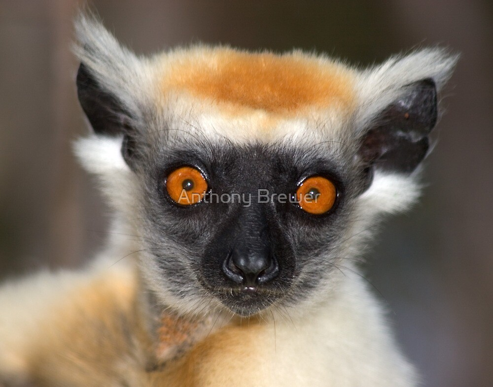 Look into the eyes of the lemur by Anthony Brewer
