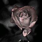 ROSE AT MIDNIGHT by hugo