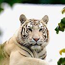 white tiger STARE by Grandalf