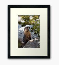 Marmot Framed Print