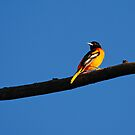 Baltimore Oriole by ChadsCapture