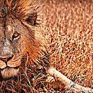 Lion Eyes - Ngorongoro Crater Conservation Area - Tanzania by Scott Ward