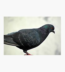 pigeon Photographic Print