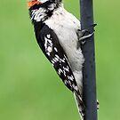 Downy Woodpecker by Erik Anderson