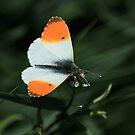 Orange Tip by FraserJ
