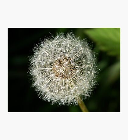 A dandelion clock ready to release it's seeds. Photographic Print