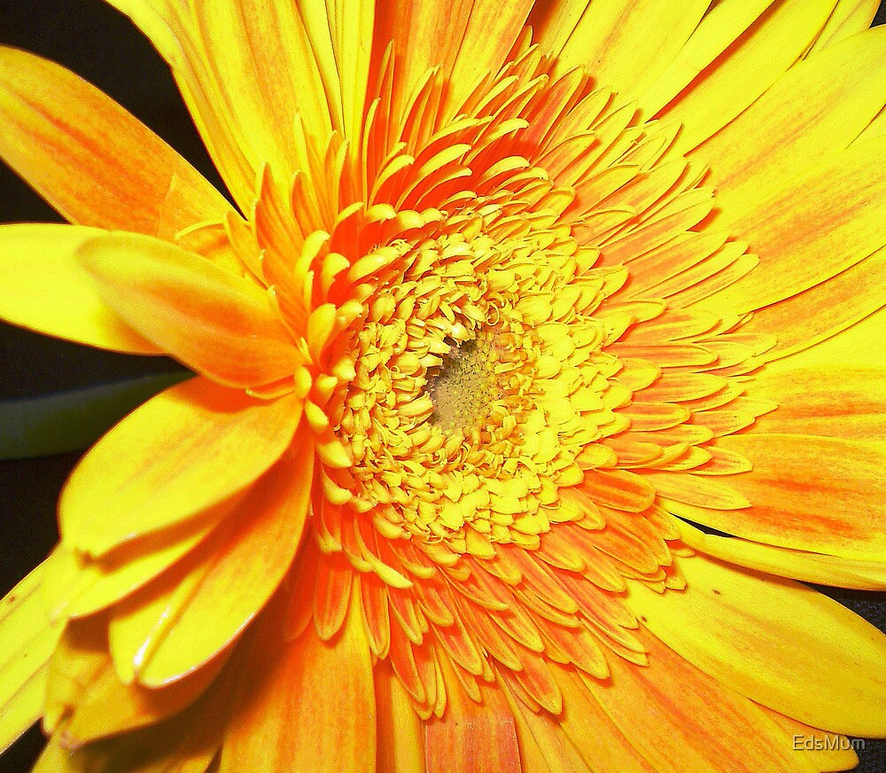Gold & Beautiful Gerbera by EdsMum