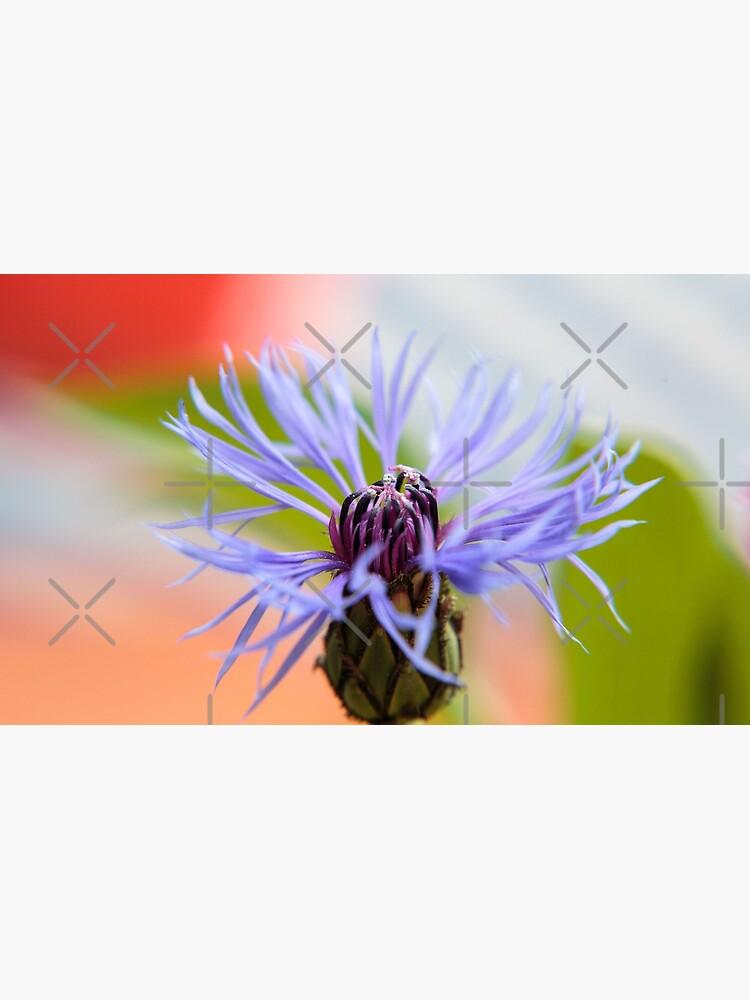 Blüte einer Kornblume von pASob-dESIGN