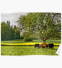 Swiss cows Poster