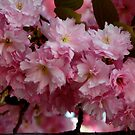 Pink Blossom by chriso