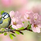 Little Blue Tit on Apple Blossom by Morag Bates