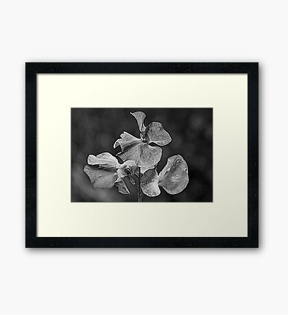 Sweet Pea Framed Print
