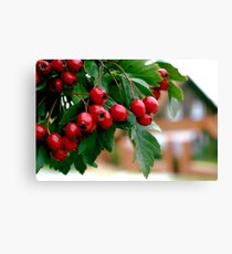 Rowan berry Canvas Print