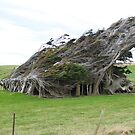 Windswept trees protecting derelict house by redkitty