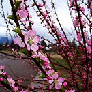 Blossoms by rocamiadesign