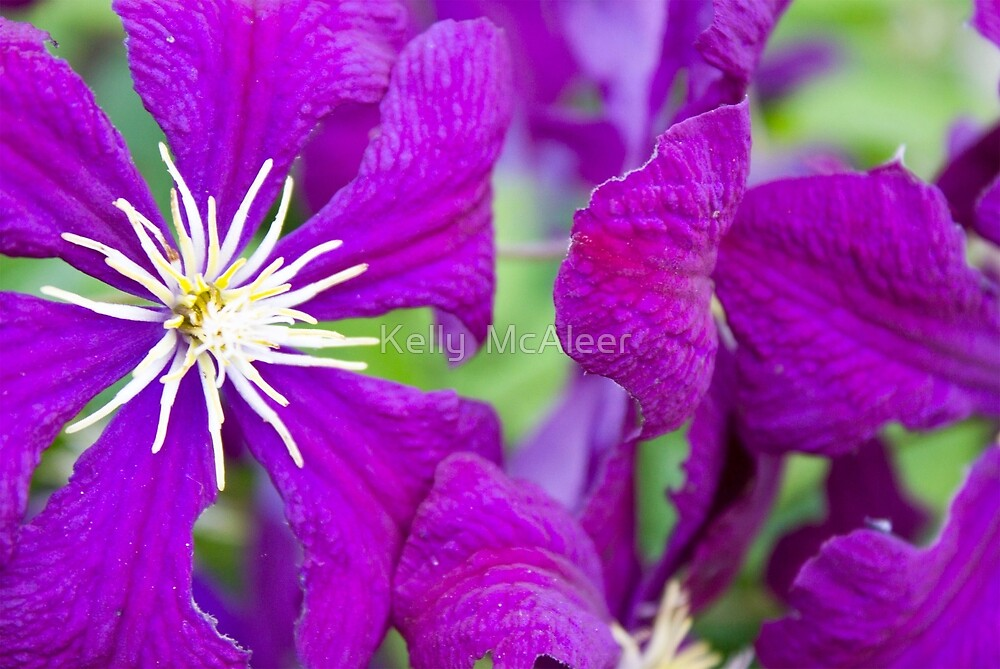 Purple Passion by Kelly  McAleer