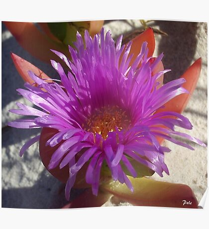 Ice Plant Flower Poster