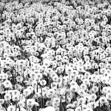 Taraxacum, Dandelion by ARGO