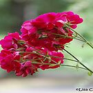 Rose Delight by ArkansasLisa