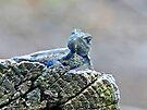 Blue Belly Alligator Lizard  by FrankieCat