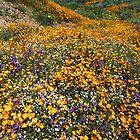 Its Wildflower Season In Southern California by photosbyflood