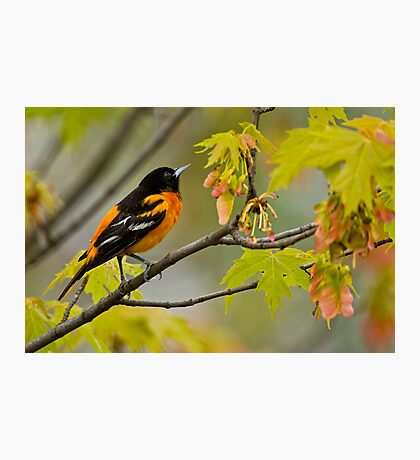 Northern Oriole looking for supper - Ottawa, Ontario Photographic Print