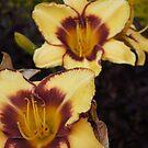 Sunshine Day Lily by Catherine Davis
