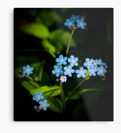 Forget Me Nots...please Metal Print