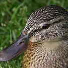 Female/hen duck - Ottawa, Ontario by Tracey  Dryka