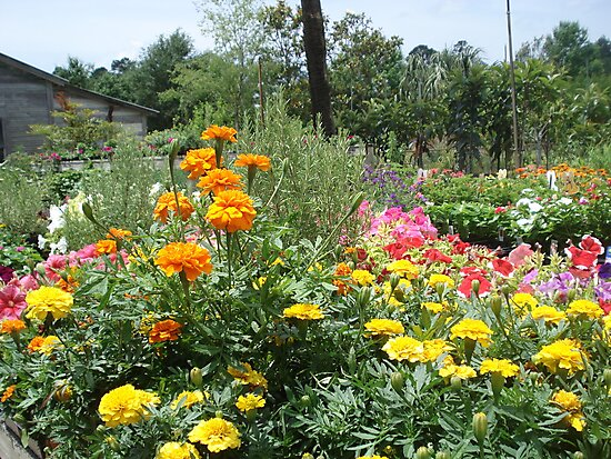 Spring at the Springfield Nursery by May Lattanzio