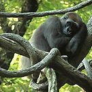 Gorilla In A Tree Looking At Me by jenndes