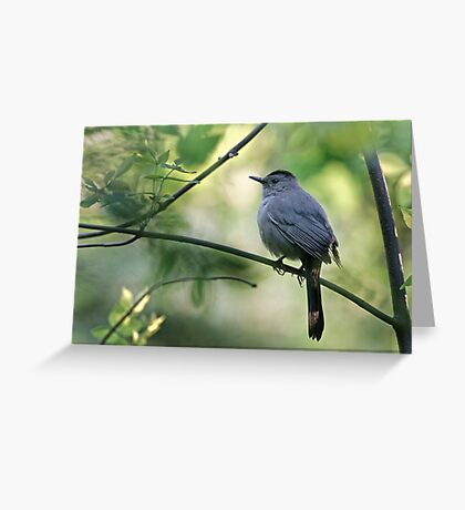 Gray Catbird - Ottawa, Ontario Greeting Card