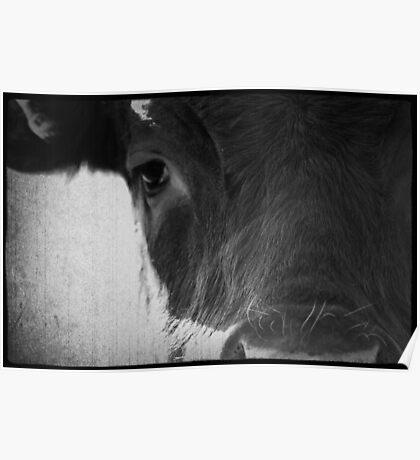 Cows Eye View Poster