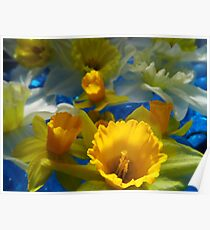 Daffodils In Blue Poster