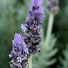 3 Lavender flowers by TeAnne