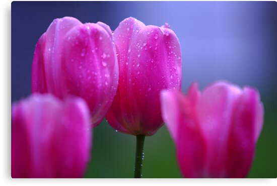 Misty Tulips by Brian Dodd
