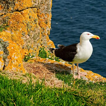 A blackbacked gull guards it's nest, Saltee Islands, County Wexford, Ireland by AndyJones