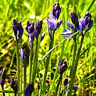 Bluebells Emerging  (late spring) by Trevor Kersley