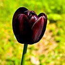 Tulip (early-May) by Trevor Kersley