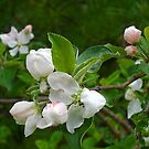 Apple Blossom Time by Anne Smyth