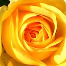 Yellow Rose by dragonsnare
