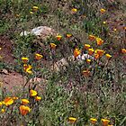 California Poppies in Spring, Mission Trails, San Diego   by Heather Friedman