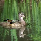 Wood Duck Reflections II by Rich Summers