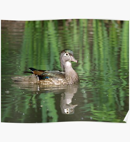 Wood Duck Reflections II Poster