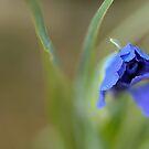 iris bud by aspenrock