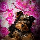 WILLOW // Yorkshire Terrier by Peggy Colclough
