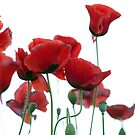 red poppies by aspenrock