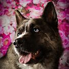 SHADOW // American Akita X Siberian Husky by Peggy Colclough